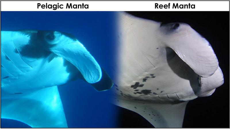 Pelagic manta vs reef manta