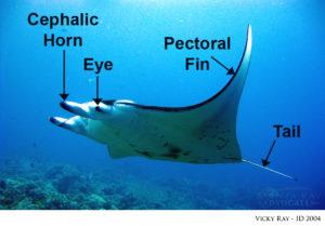 Mobula Alfredi: manta ray anatomy
