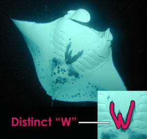 Koie Ray - manta ray ID 2001