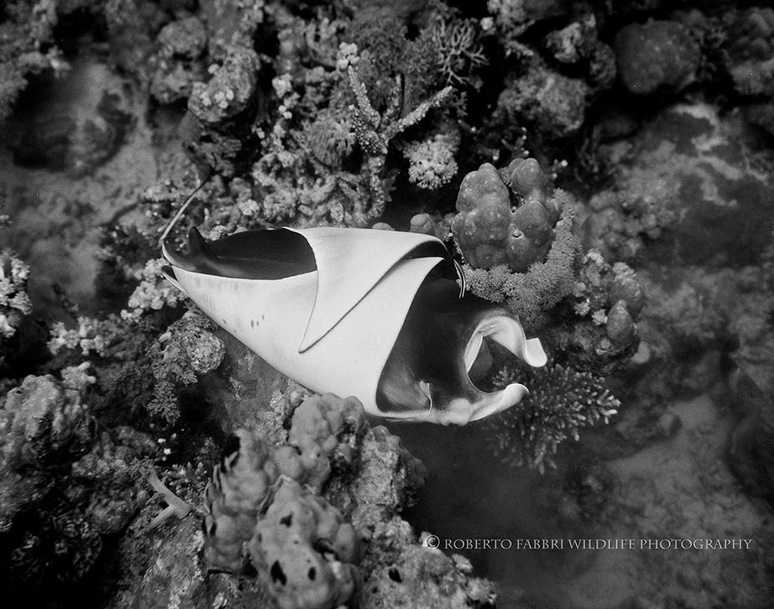 Manta ray pup birth after manta ray reproduction