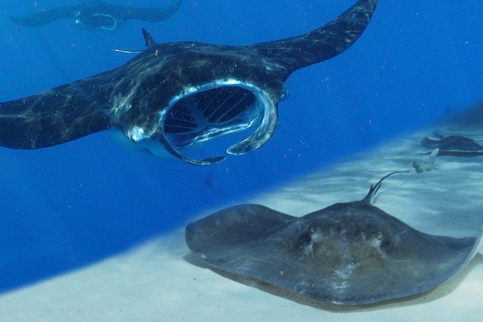 Comparing manta rays and stingrays