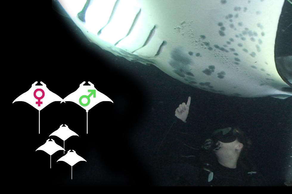 How do Manta Rays Reproduce?
