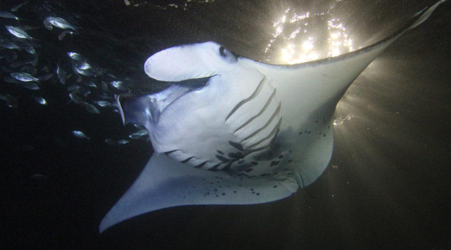 Manta Rays along the coast of Kona, Hawaii