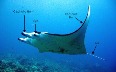 The Anatomy of Manta Rays