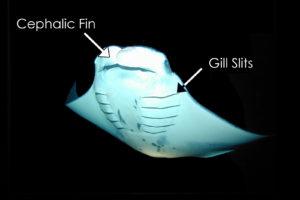 Reef manta ray anatomy: cephalic fins and gil slits